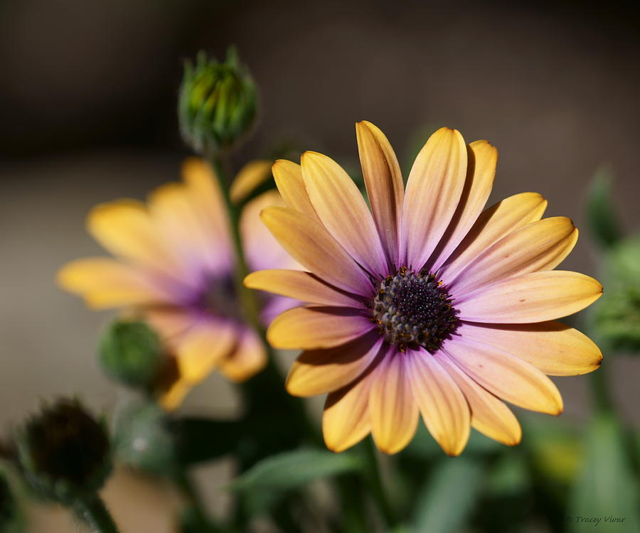 African Daisies, Copper by Tracey Vivar