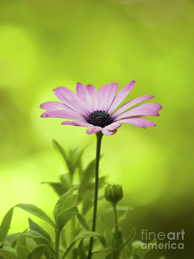 African Daisy On A Brilliant Spring Day 2 by Dorothy Lee