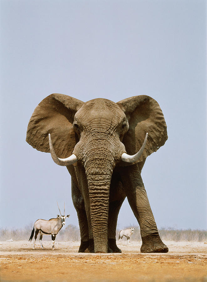 African Elephant And Gemsboks, Namibia Photograph by Art Wolfe
