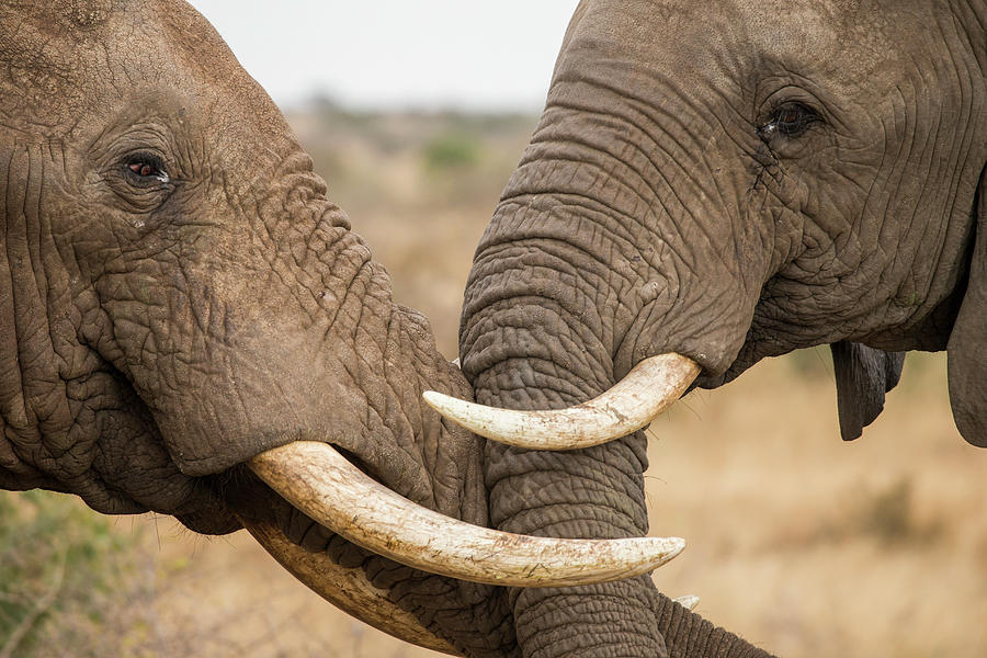 African Elephant Bulls Fighting Photograph by Sebastian Kennerknecht