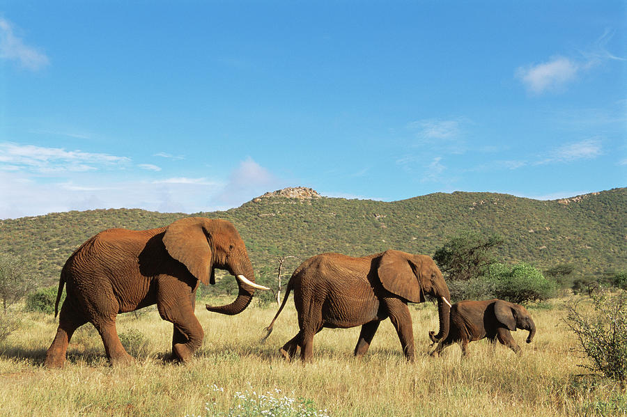 African Elephant Family On The Move Photograph by James Warwick