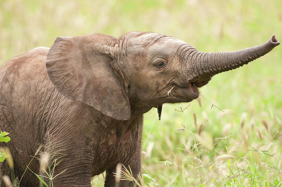 African Elephant Loxodonta Africana Photograph by Photostock-israel/science Photo Library