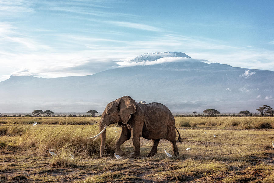 African Elephant Walking Past Mount Kilimanjaro by Susan Schmitz