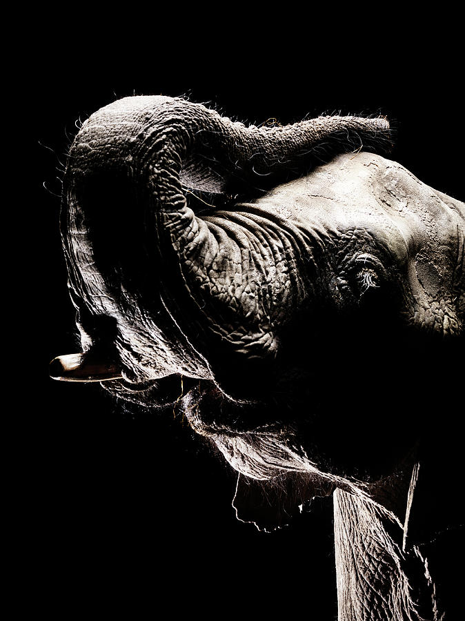 African Elephant With The Trunk Raised Photograph by Henrik Sorensen