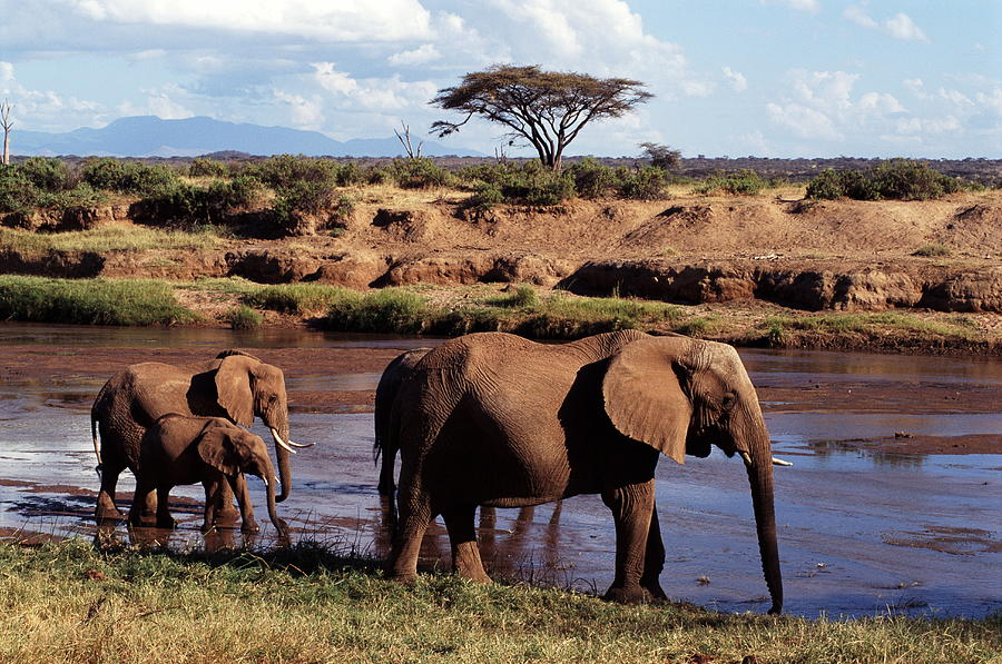 African Elephants Loxodonta Africana Photograph by John Giustina