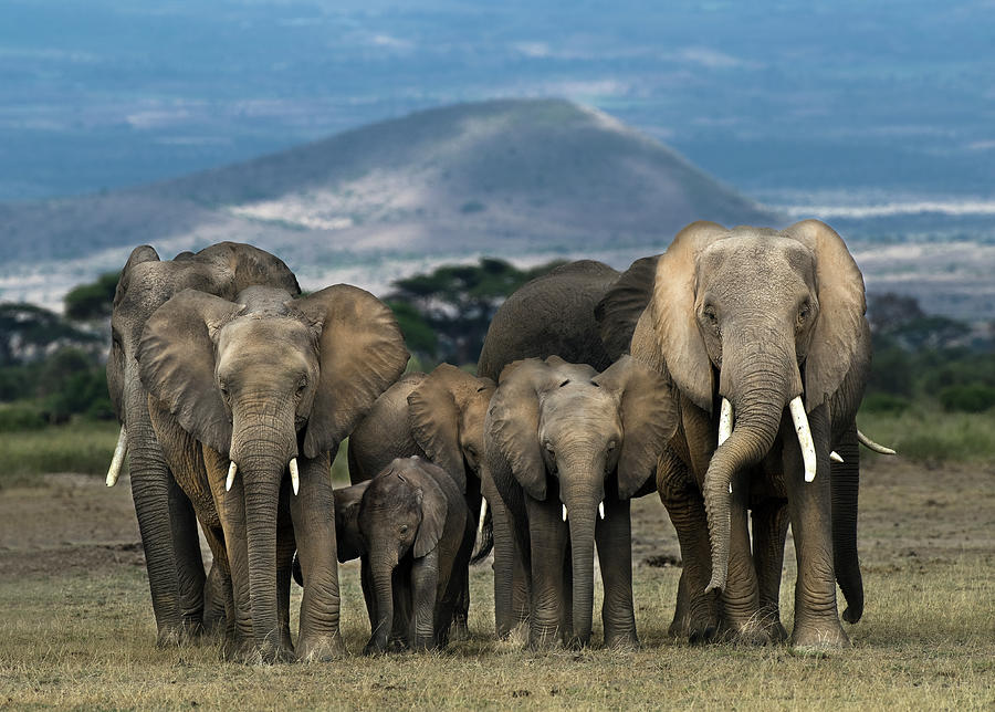 African Elephants Loxodonta Africana Photograph by Mike Hill
