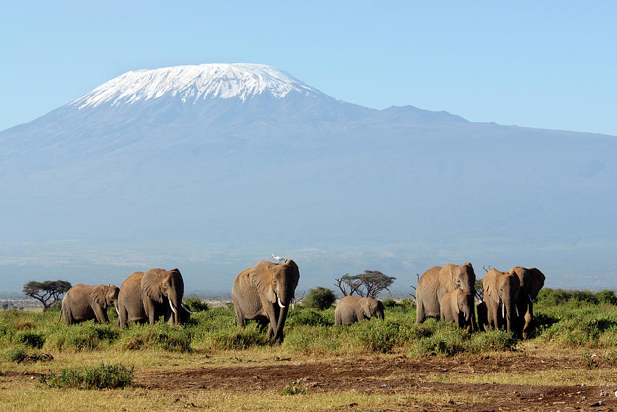 African Elephants Photograph by Oversnap