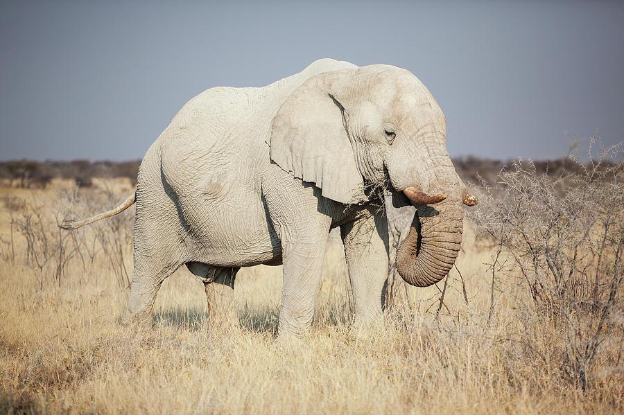 African Elphant Eating Photograph by Bjarte Rettedal