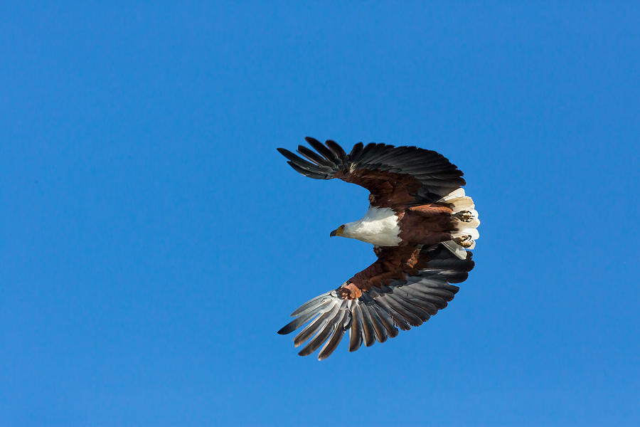 African Fish Eagle Photograph by 1001slide
