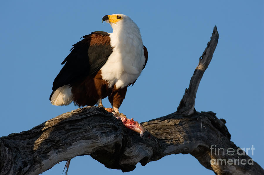 Caught Photograph - African Fish Eagle Haliaeetus Vocifer by Johan Swanepoel