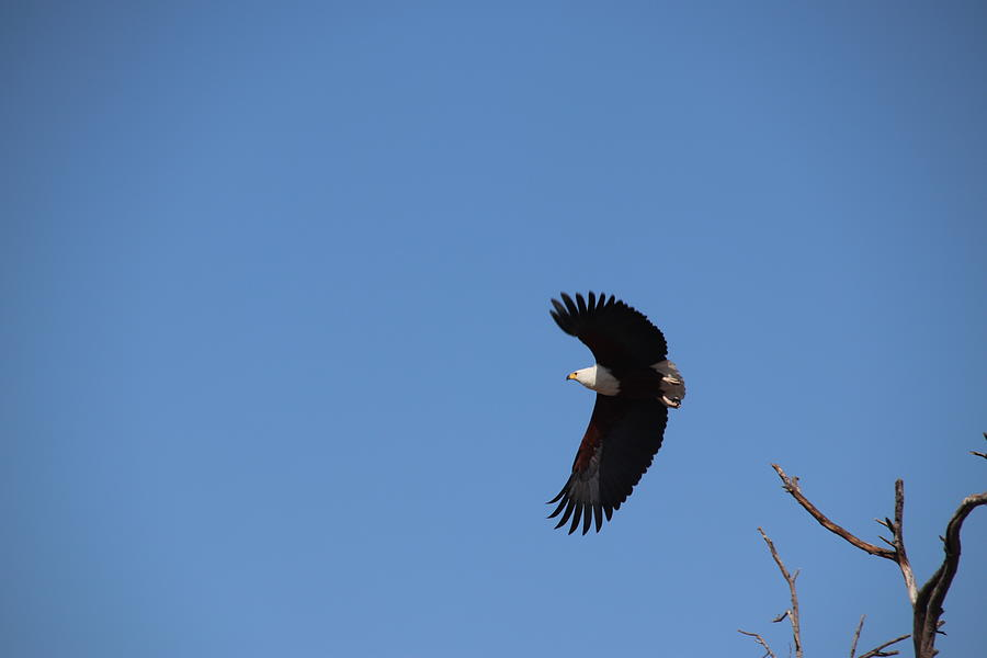 African Fish Eagle by Pat Moore