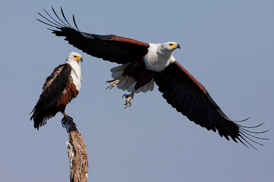 African Fish Eagles, Chobe National Photograph by Mint Images/ Art Wolfe