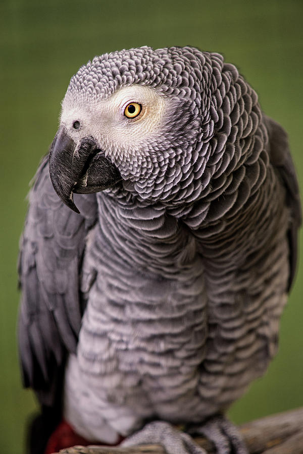 African Grey Parrot by Don Johnson