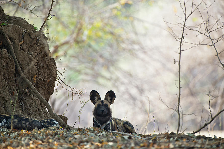African Hunting Dog Photograph by Richard Packwood