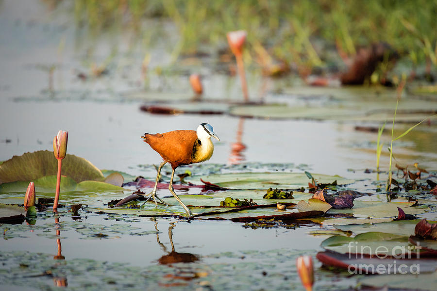 African Jacana 1 by Timothy Hacker