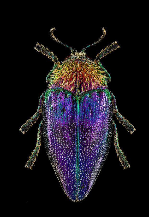 African Jewel Beetle 2 by Gary Shepard