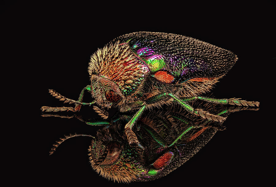 African Jewel Beetle by Gary Shepard