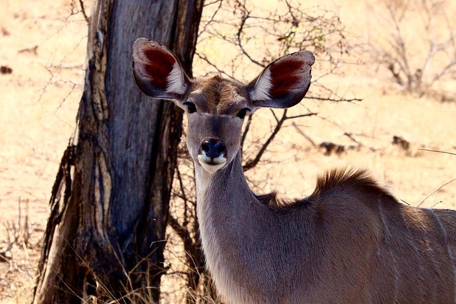 Prints Photograph - African Kudu by Art Craft