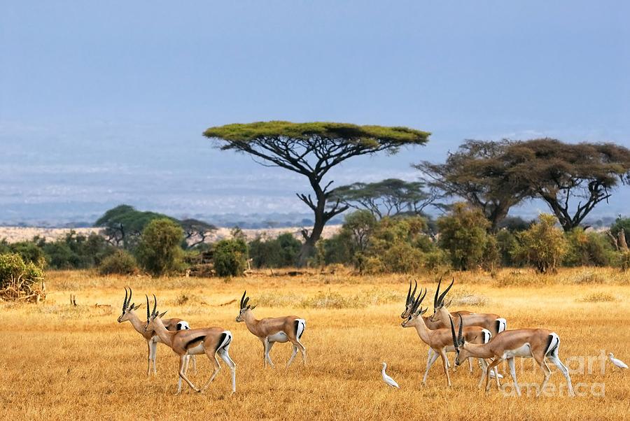 Safari Photograph - African Landscape With Gazelles by Oleg Znamenskiy