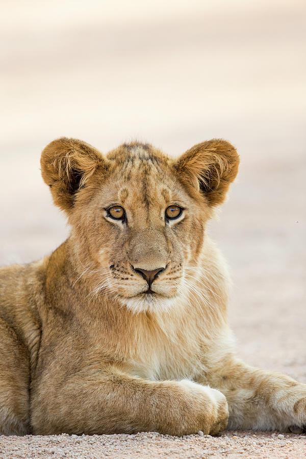 African Lion Cub In Kafue National Park Photograph by Sebastian Kennerknecht