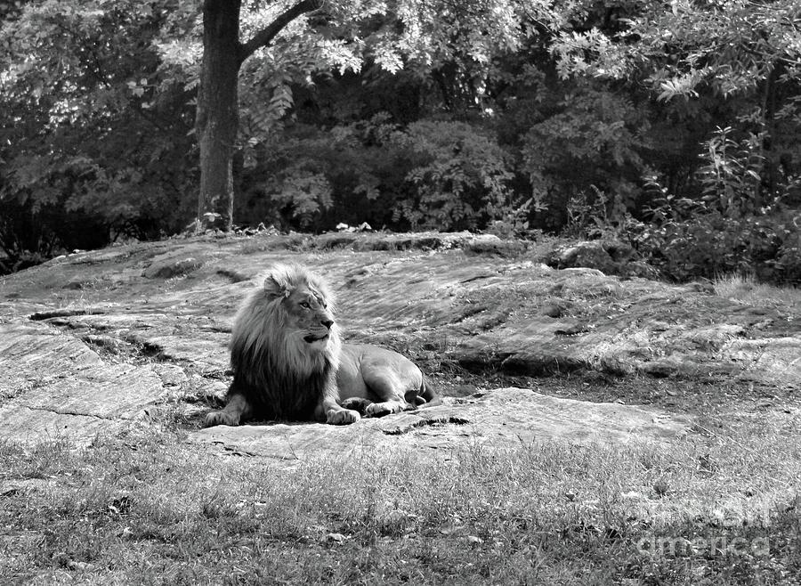 African Lion in Black and White by Sandra Huston