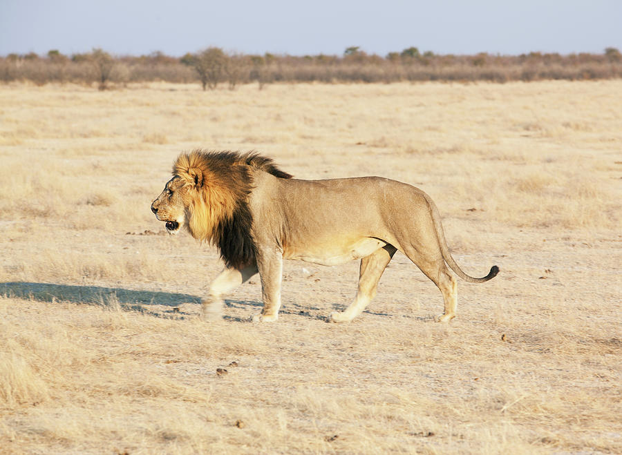 African Lion On Savannah Photograph by Bjarte Rettedal