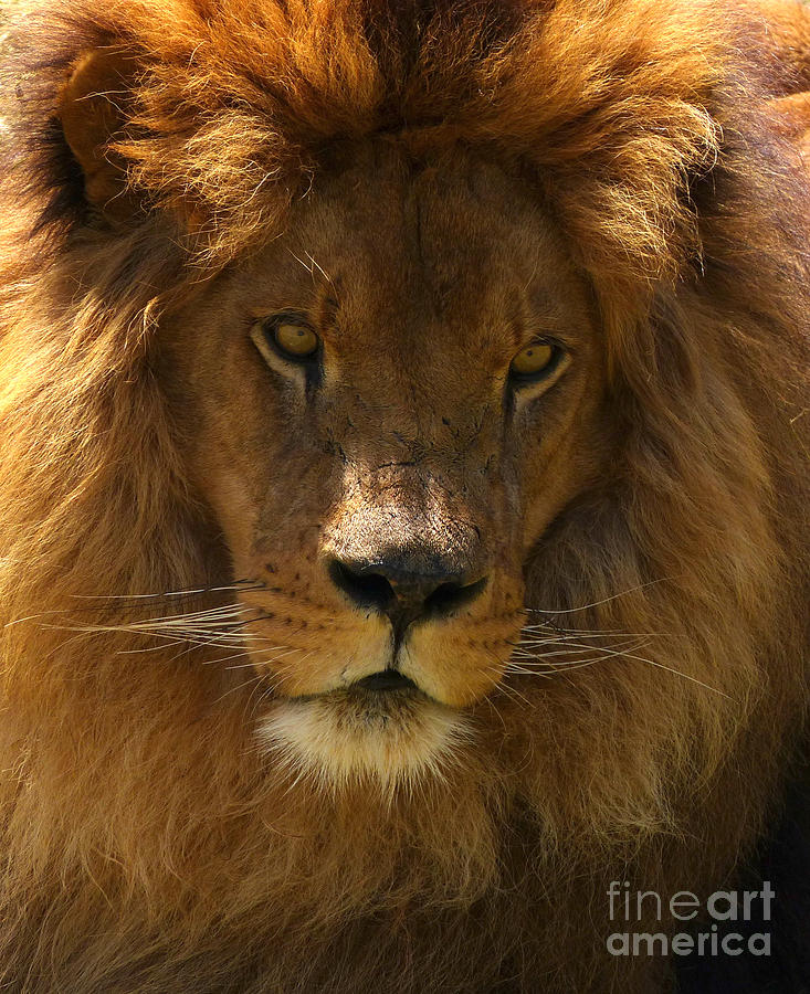 African Lion by Phil Banks