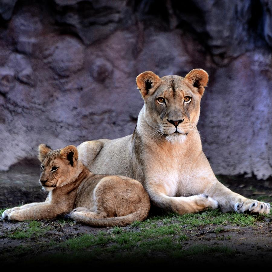 African Lion With Cub Photograph by Yuko Smith Photography