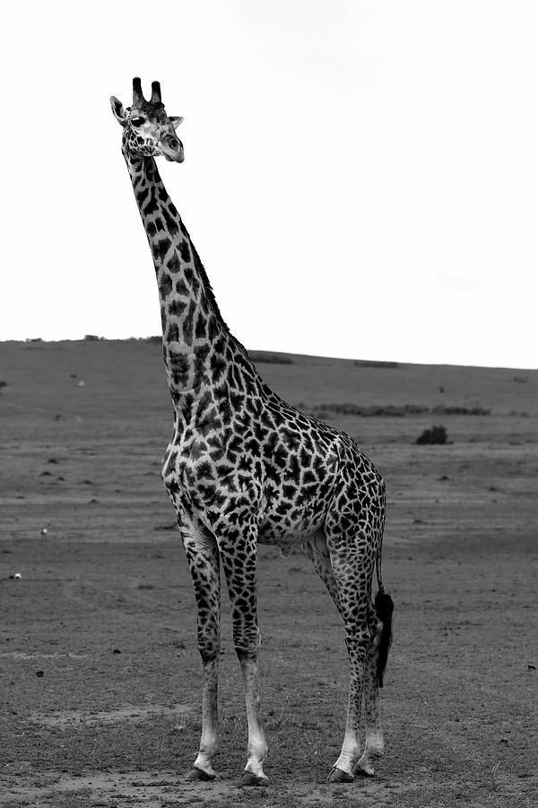 African Male Giraffe by Aidan Moran