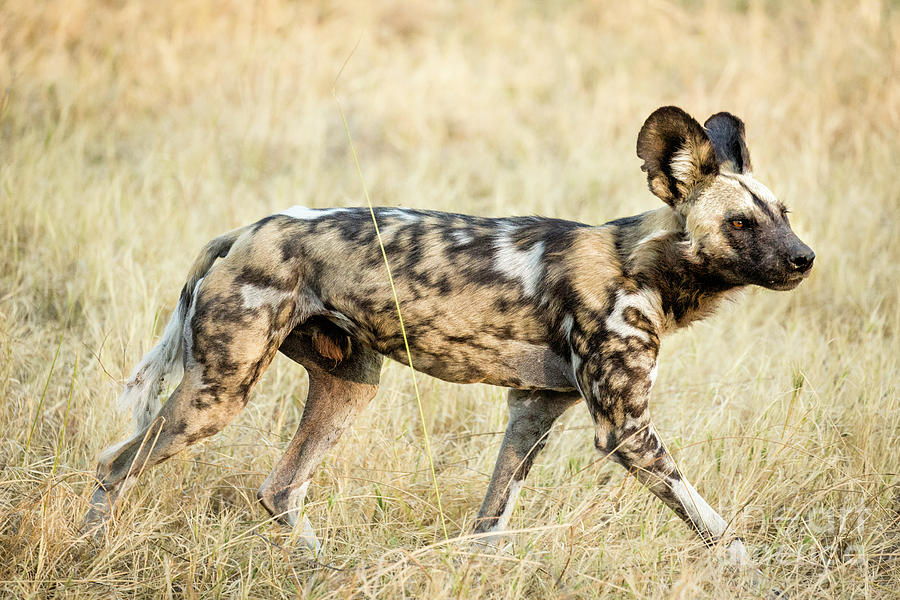 S Africa Photograph - African Painted Wild Dog 1 by Timothy Hacker