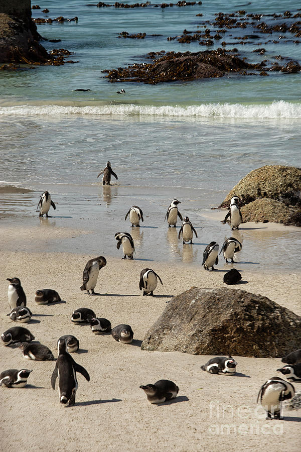 African penguins colony in South Africa by Patricia Hofmeester