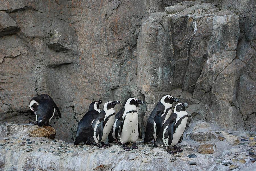 African Penguins Mystic Aquarium Photograph by Andrea Swiedler