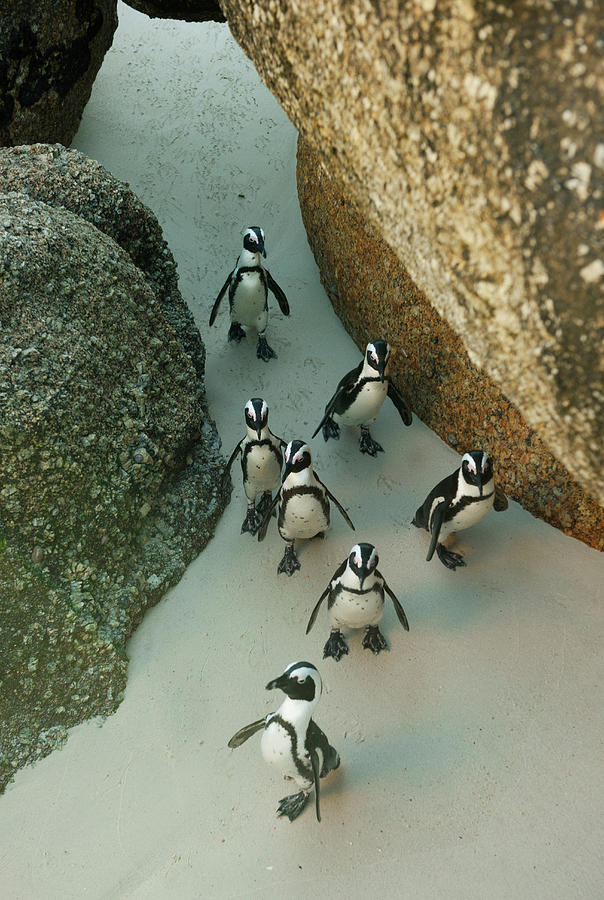 African Penguins, South Africa Photograph by Kevin Schafer
