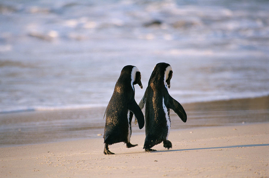 African Penguins Spenicus Photograph by Stuart Westmorland