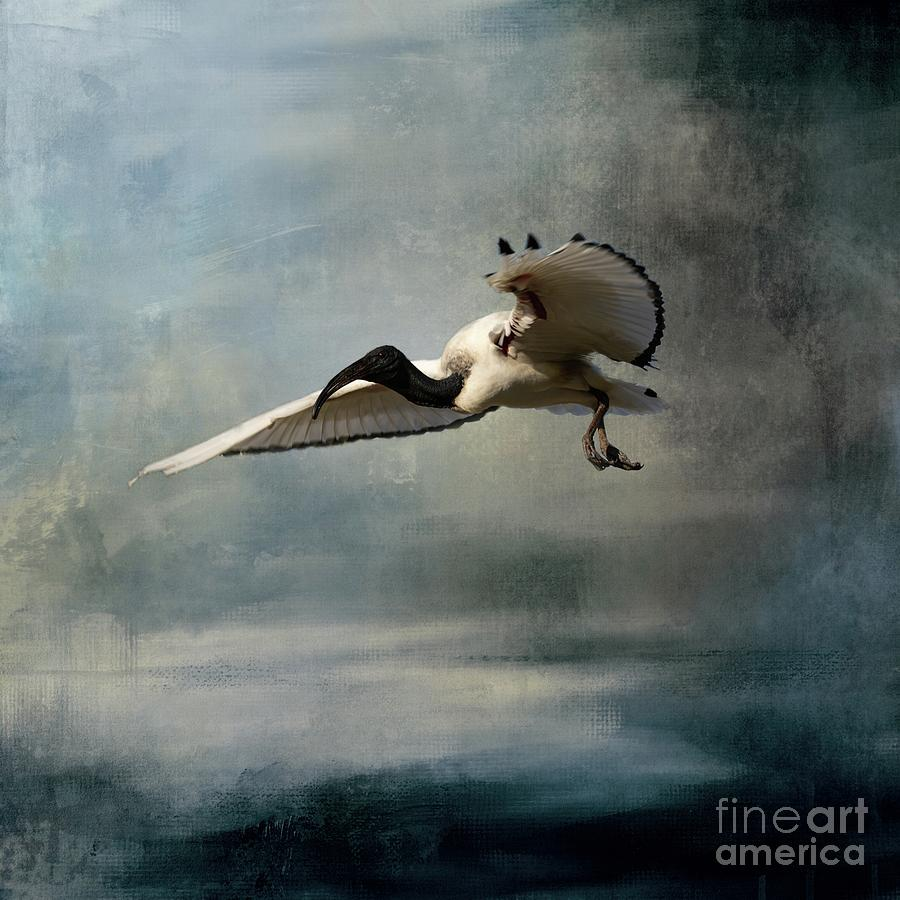 African Sacred Ibis in Flight-2 by Eva Lechner