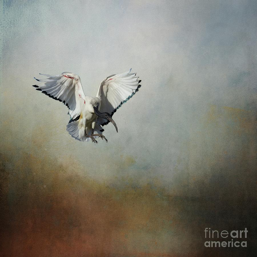 African Sacred Ibis in Flight by Eva Lechner