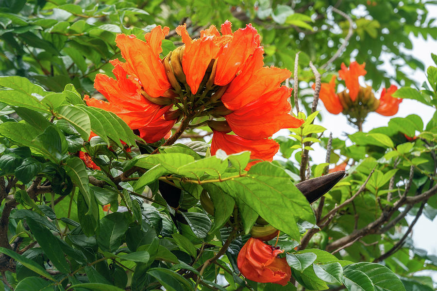 African Tulip Tree at the beach at Kuto Bay by Daniela Constantinescu
