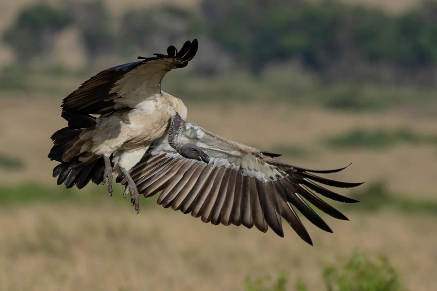 African Photograph - African White-backed Vulture by Thomas Kallmeyer