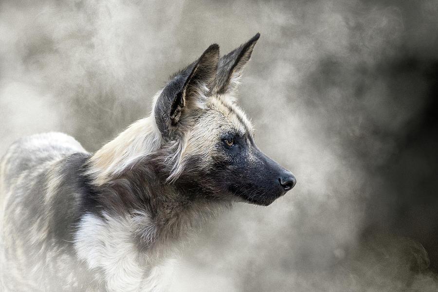 African Wild Dog In The Dust by Susan Schmitz