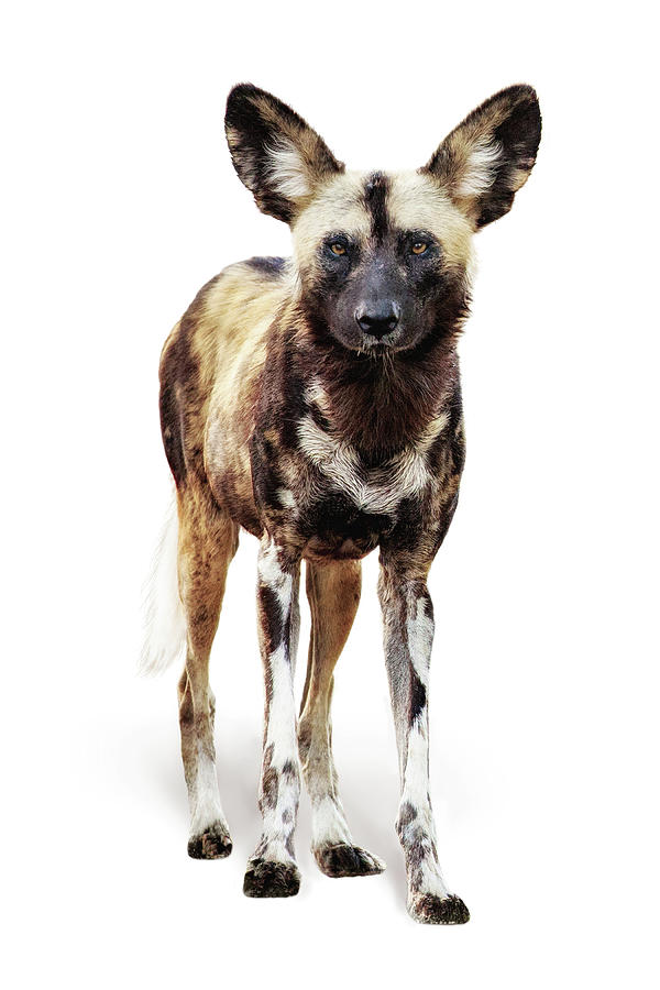 African Wild Dog Named Ginger by Susan Schmitz