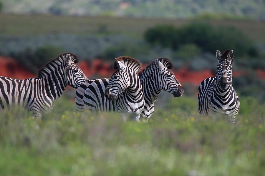 Animals Photograph - African Zebras 033 by Bob Langrish