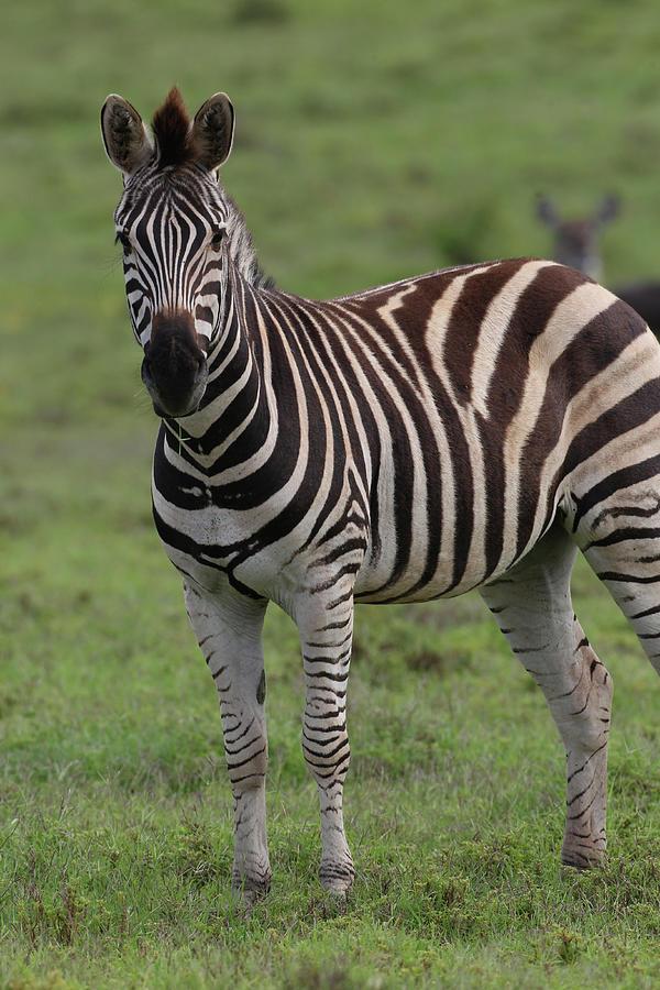 Animals Photograph - African Zebras 072 by Bob Langrish