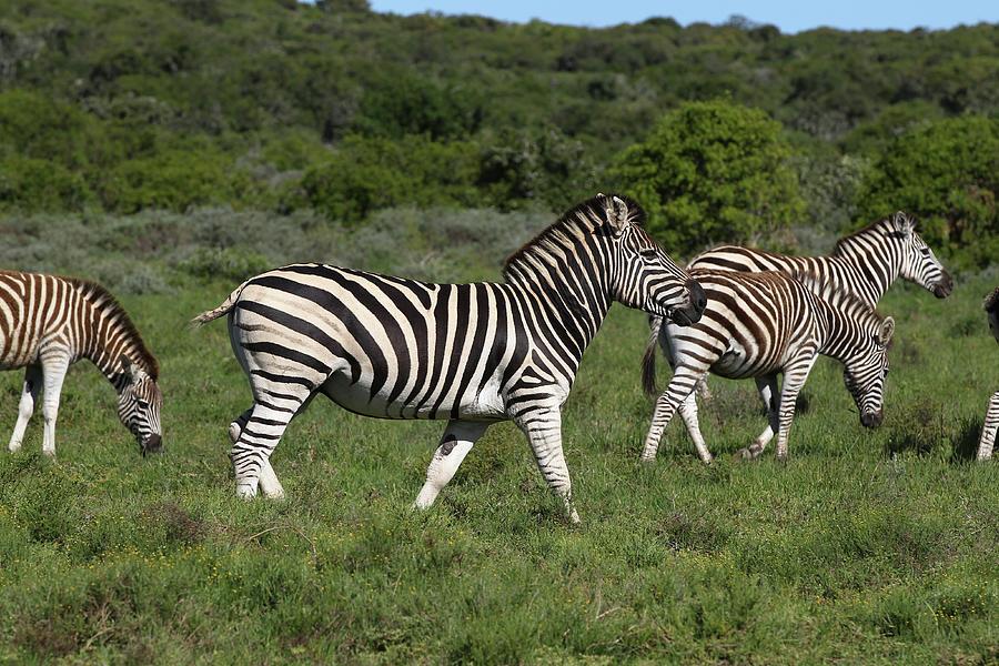 Animals Photograph - African Zebras 103 by Bob Langrish