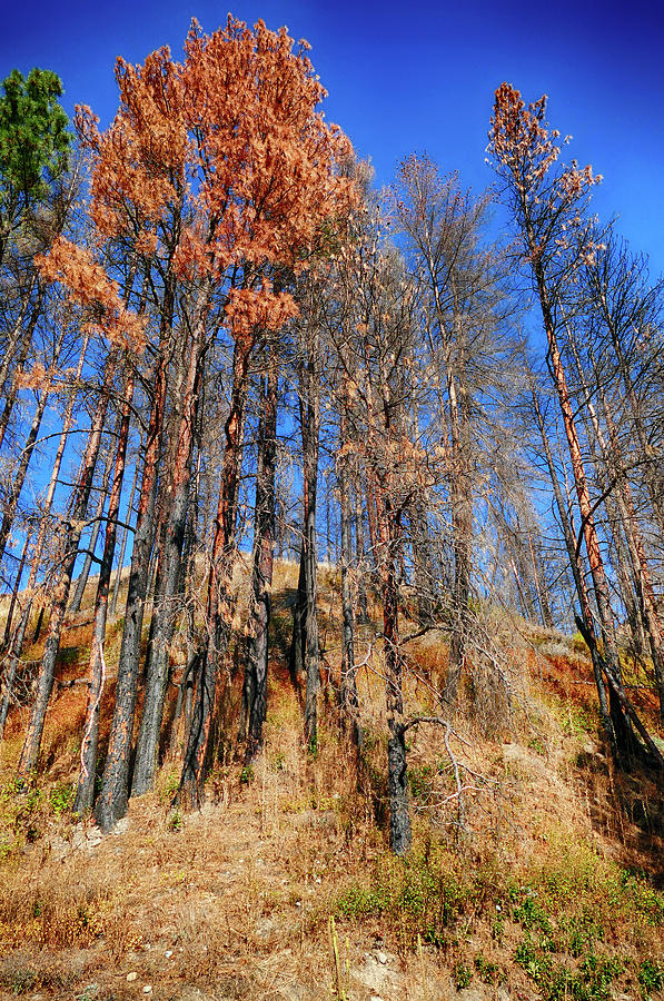 Aftermath of forest fire with pines by Steve Estvanik