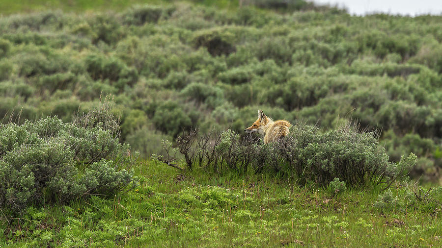 Afternoon Fox Hunt by Yeates Photography