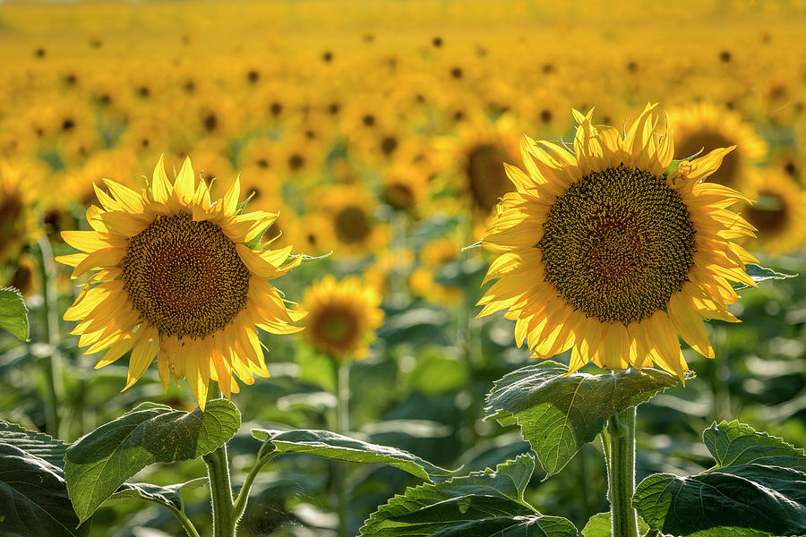 Afternoon in the Colorado Sunflower Fields by Teri Virbickis