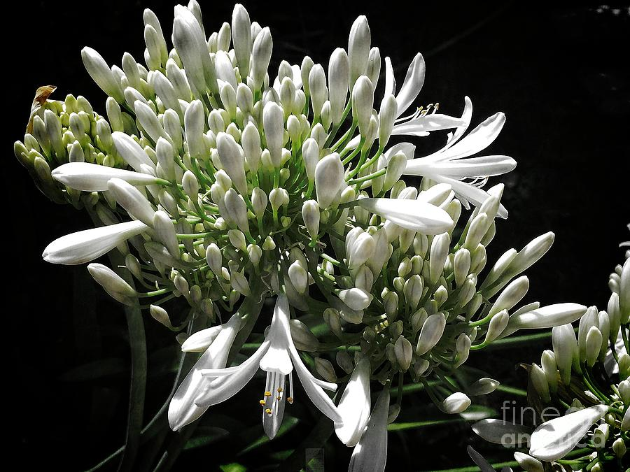Agapanthus by Dee Flouton