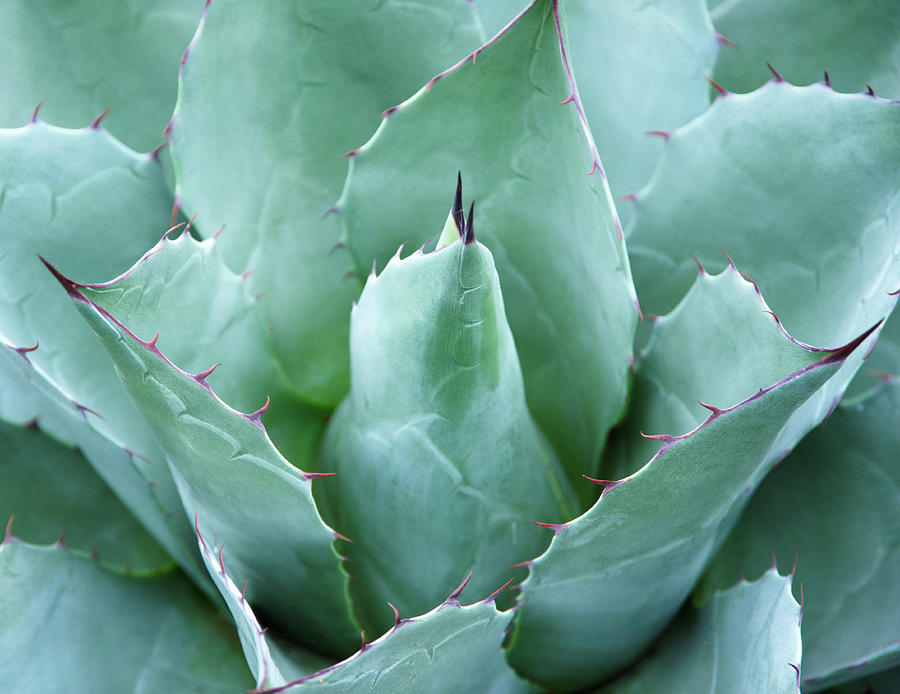 Agave Agave Parrasana, Close-up Photograph by Liz Whitaker