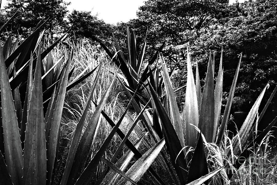 Agave by Cassandra Buckley