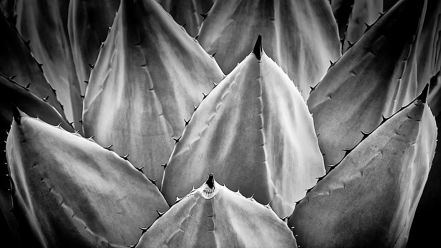 Agave Design-black and white by Flying Z Photography by Zayne Diamond